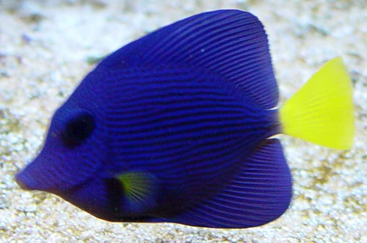 Purple tang zebrasoma xanthurum 1263 for Purple saltwater fish