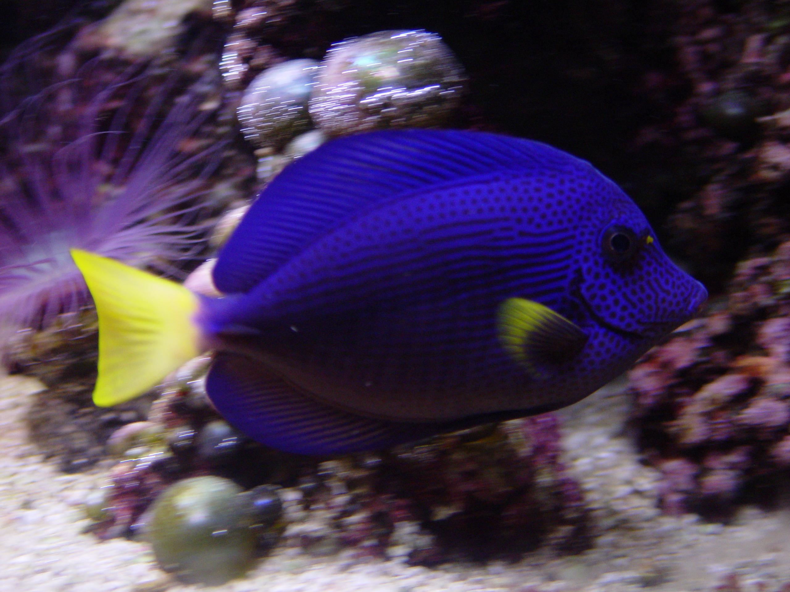 Purple Tang (Zebrasoma xanthurum) dsc05772.jpg